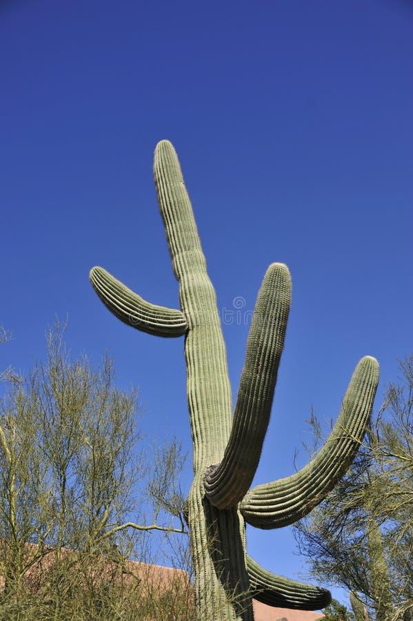 Saguarokaktus royaltyfri fotografi