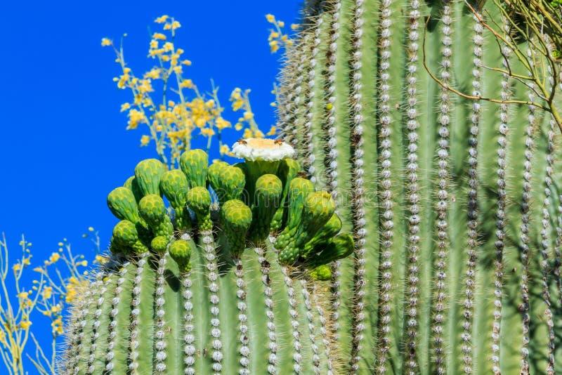 Saguarokaktus i blom, Arizona arkivfoto