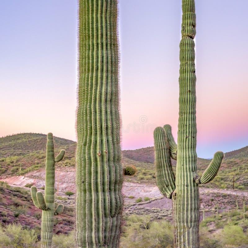 Saguarokaktus i den Arizona öknen på solnedgången arkivfoton