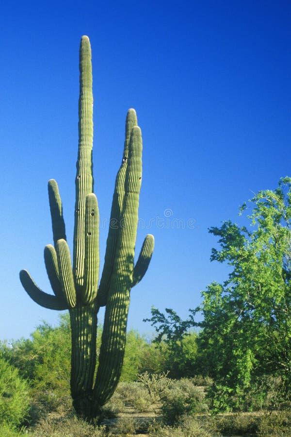 Saguarokaktus in Sonoma-Wüste, Scottsdale, AZ lizenzfreies stockbild
