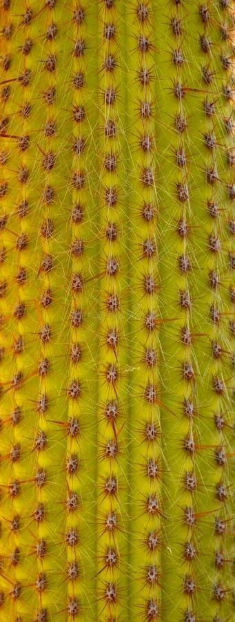 Saguarokaktusmakro royaltyfri foto
