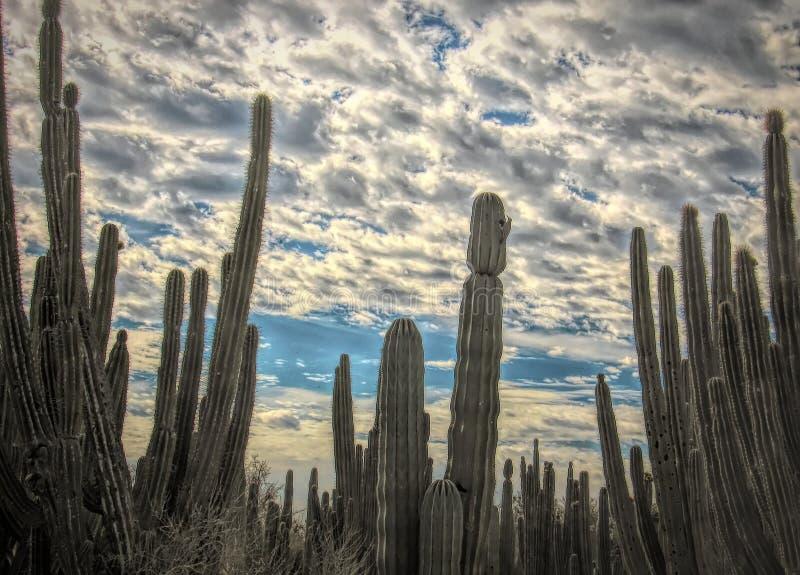 Saguarokaktusskog med det Gila Woodpecker @ redet arkivbilder