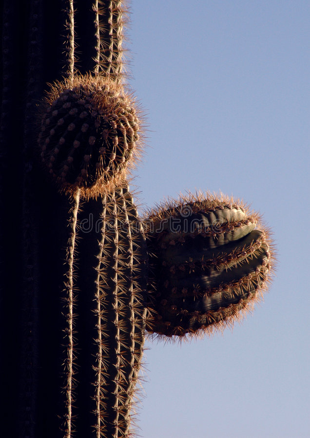 Saguaronahaufnahme stockbild