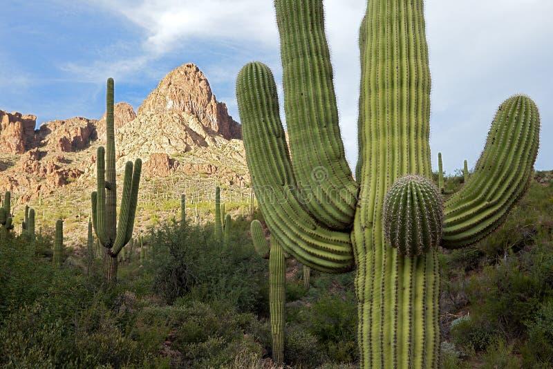 Saguaros photos libres de droits