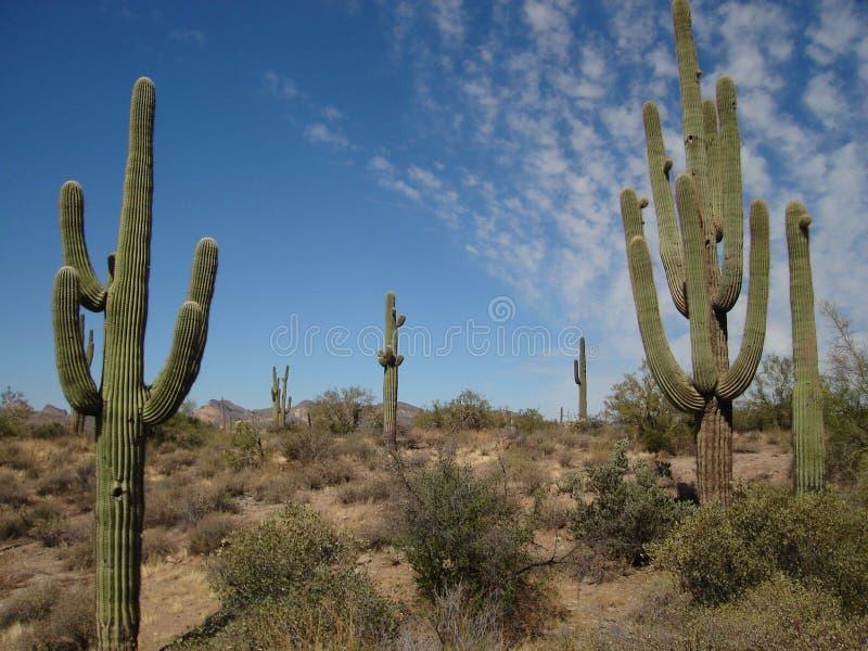Saguaros photographie stock libre de droits