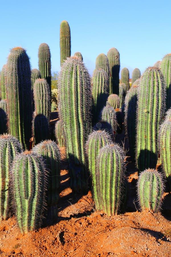 saguaros arkivbilder