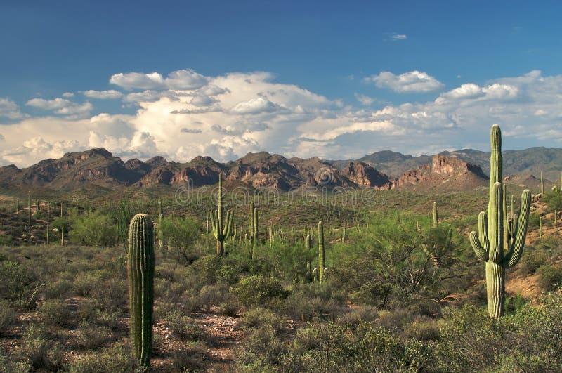 Saguaros royalty-vrije stock afbeelding