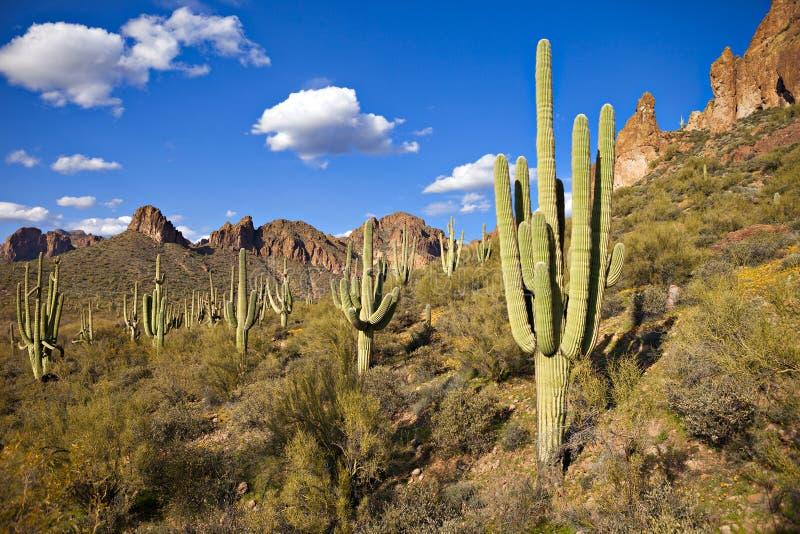 saguaros arkivbild