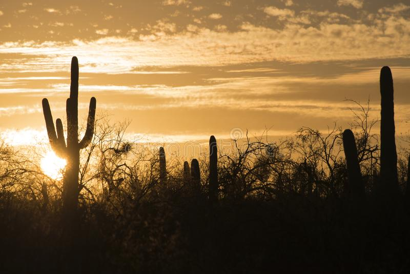 Saguaros au coucher du soleil, Arizona, Etats-Unis photo stock