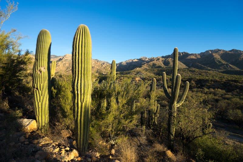 Saguaros au parc d'état de Catalina dans Tucson Arizona photo stock