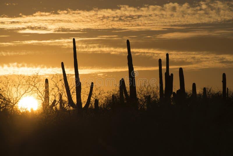Saguaros bei Sonnenuntergang, Arizona, USA lizenzfreies stockbild