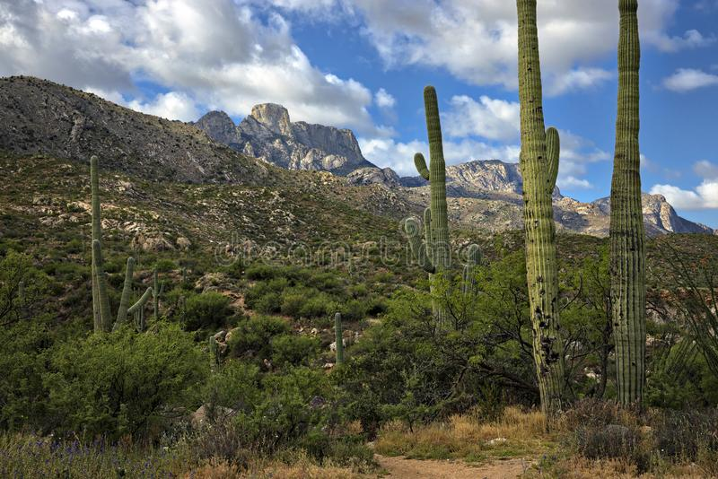 Saguaros. In Catalina State Park royalty free stock photo