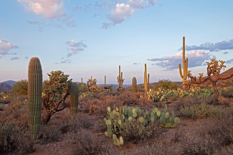 Saguaros de Sunsetlit fotos de stock