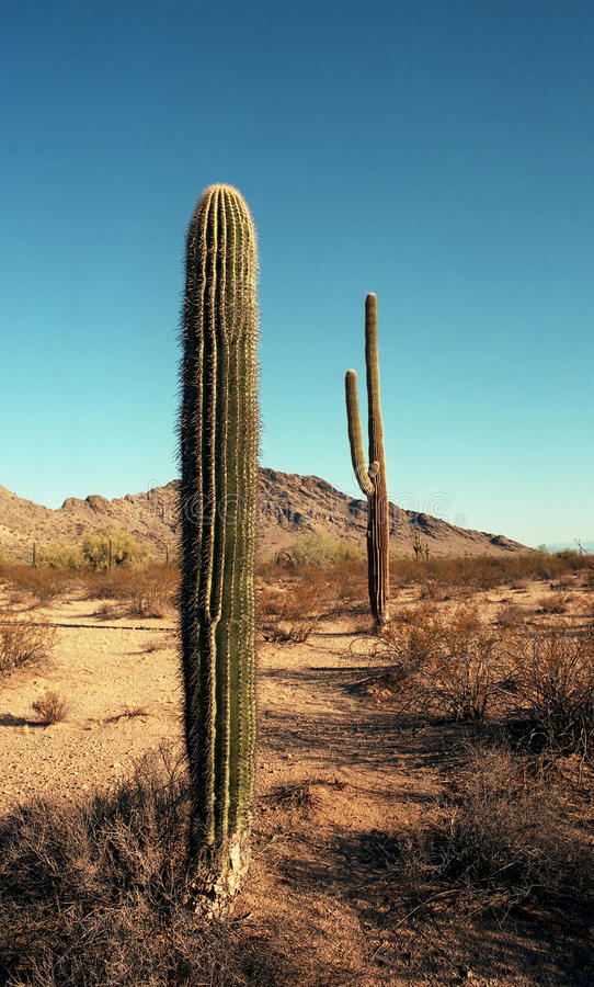 Saguaros dell'Arizona fotografie stock