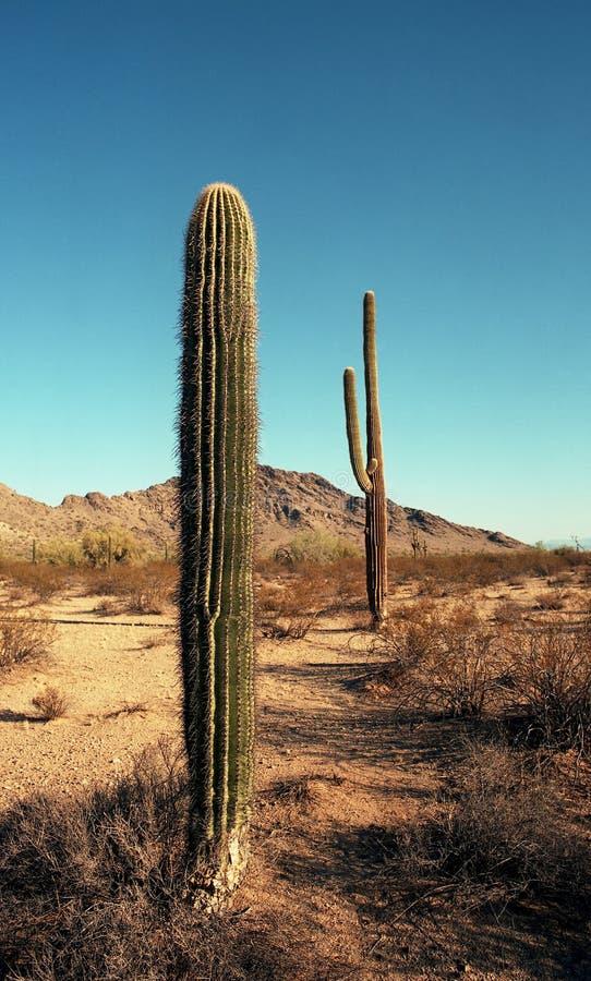 Saguaros do Arizona fotos de stock