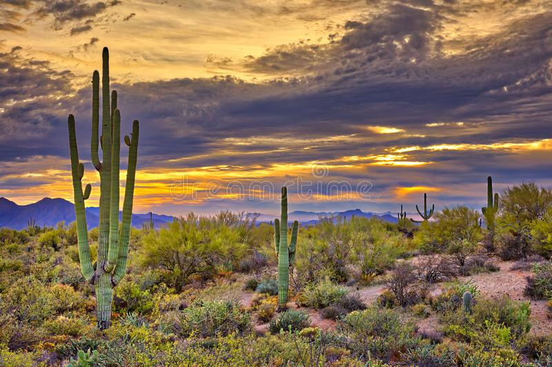 Sunset. Saguaros in Four Peaks wilderness, near Phoenix royalty free stock photography