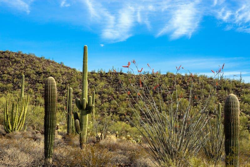 Saguaros gigantes, tubos de órgano, y cactus florecientes del Ocotillo dentro del monumento nacional del cactus del tubo de órgan fotografía de archivo