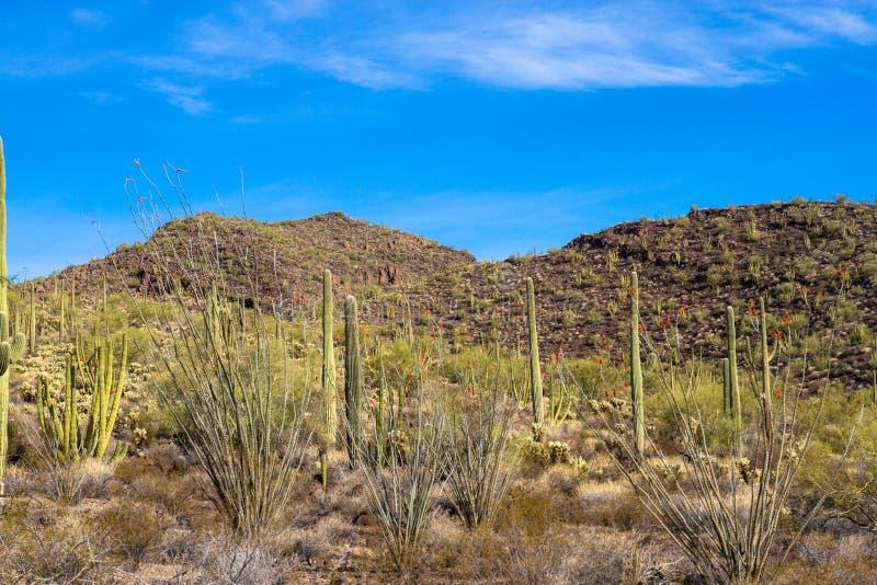 Saguaros gigantes, tubos de órgano, y cactus florecientes del Ocotillo dentro del monumento nacional del cactus del tubo de órgan fotografía de archivo libre de regalías