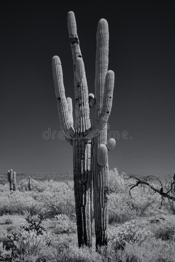 Saguaros monocromáticos fotografia de stock royalty free
