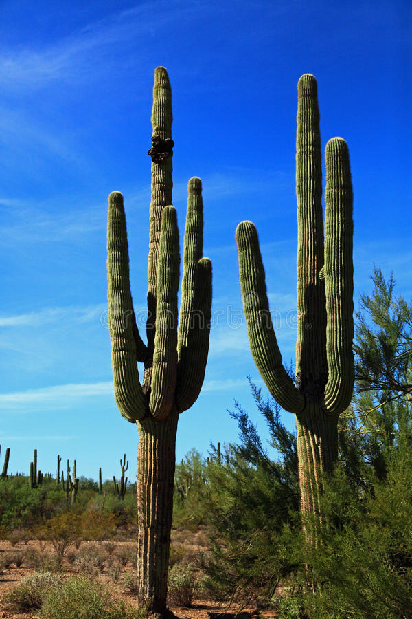 Saguaros no Arizona EUA imagem de stock royalty free