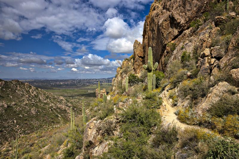 Saguaros. On Romero Trail in Catalina State Park royalty free stock image