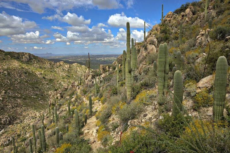 Saguaros. On Romero Trail in Catalina State Park stock image