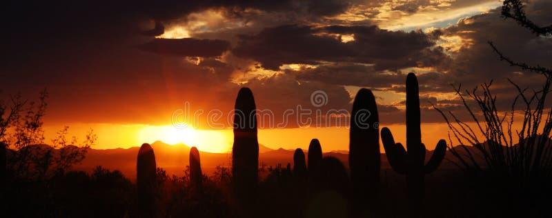 saguaros silhousette zdjęcie stock