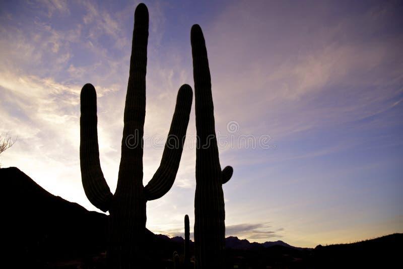 Download Saguaros in the Sunset stock photo. Image of arizona - 29072602