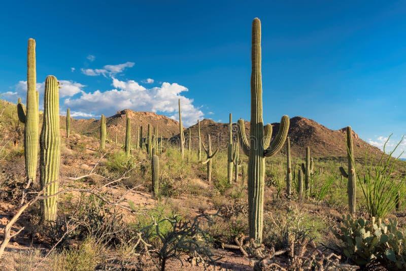 Saguaro Cactus at Sunset in Sonoran Desert. Saguaros at Sunset in Sonoran Desert near Phoenix, Arizona stock image
