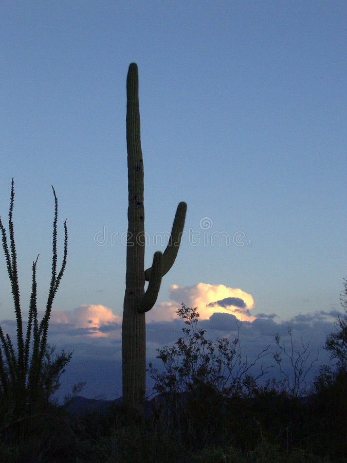 saguarosolnedgång royaltyfria foton