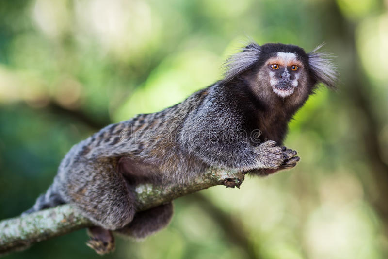 Sagui-Affe im wilden, Rio de Janeiro, Brasilien lizenzfreies stockbild