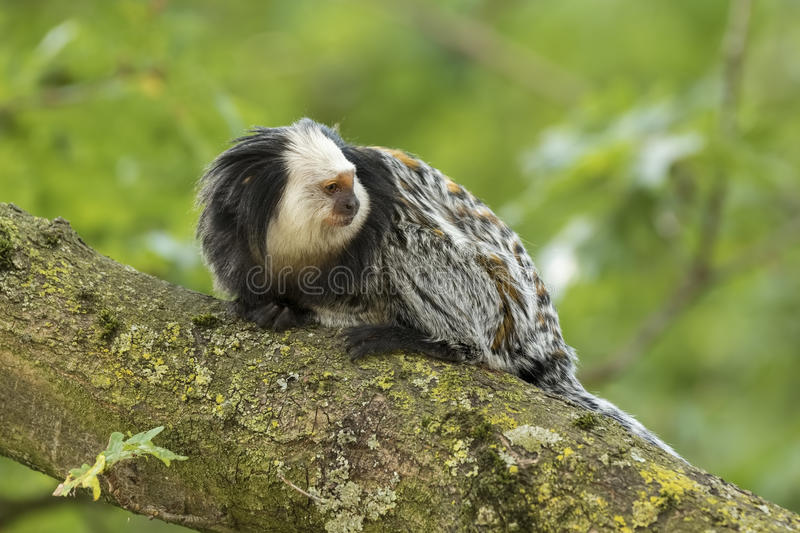sagui Branco-dirigido & x28; Geoffroyi& x29 do Callithrix; close up foto de stock