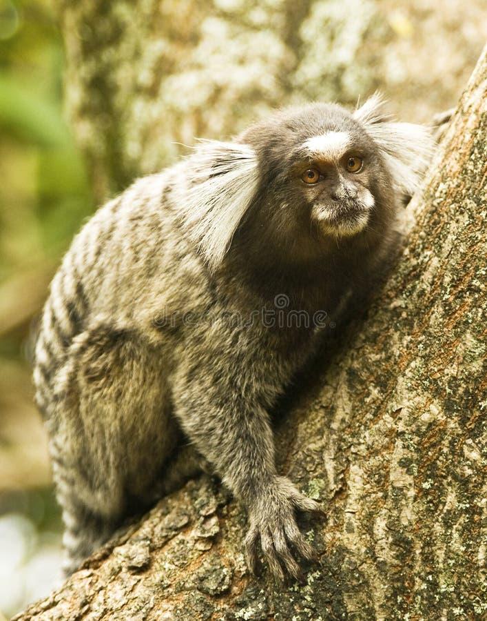 Properties south american midget monkeys idea
