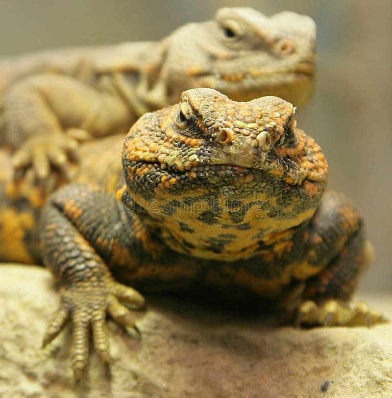 Free Sahara Dabb Lizard 1 Stock Images - 1898004