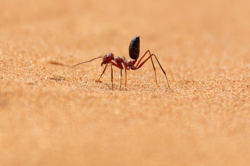 Sahara Desert Ant Cataglyphis bicolor spring längs sanddyerna royaltyfri foto