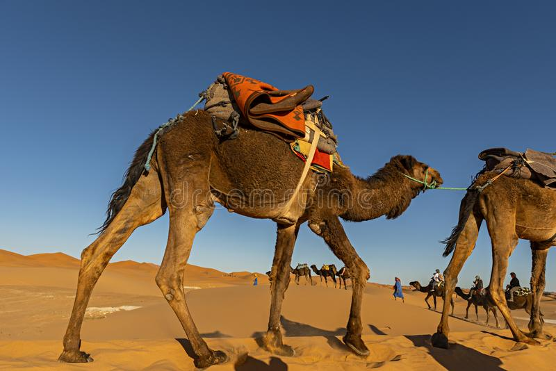 Sahara Desert, Morocco. Berber man leading camel caravan going t stock photos