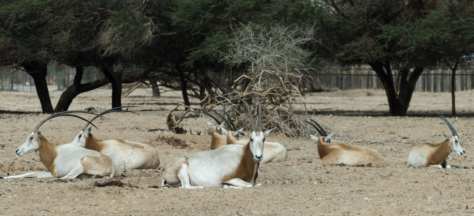 Sahara scimitar Oryx in nature reserve. Herd of Sahara scimitar Oryx (Oryx leucoryx) in National Biblical Hai-Bar nature reserve, 35 km north of Eilat, Israel stock image