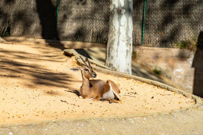 Saharian-dorcas Gazelle Gazella dorcas osiris im Zoo Barcelona stockfotos