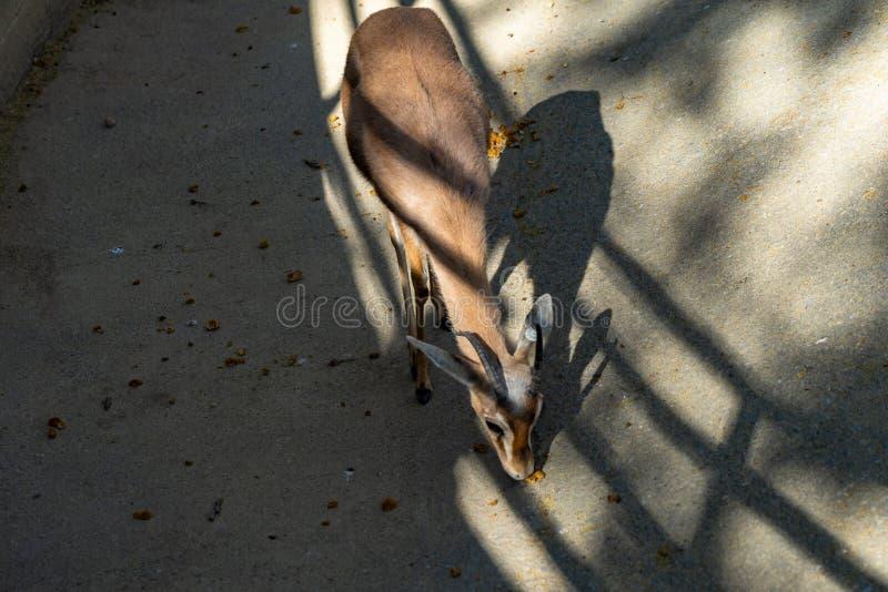 Saharian-dorcas Gazelle Gazella dorcas osiris im Zoo Barcelona lizenzfreie stockbilder