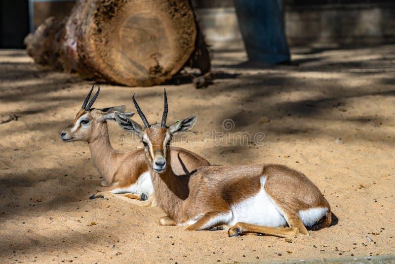 Saharian-dorcas Gazelle Gazella dorcas osiris im Zoo Barcelona stockfotografie