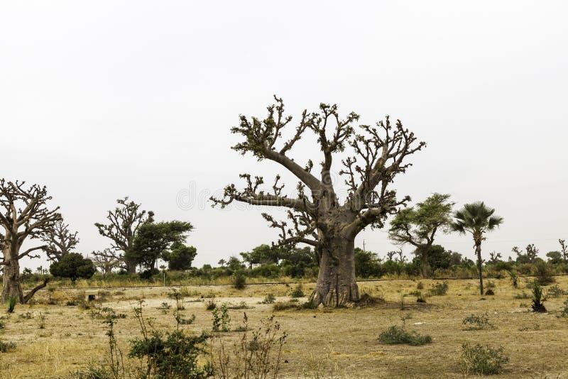 Sahel landskap med en baobab arkivfoton
