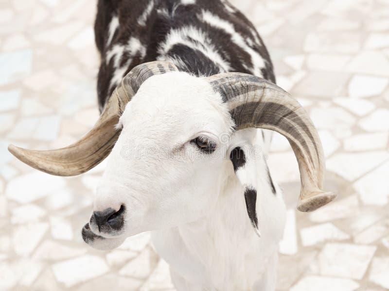 Sahelian baran z białym i czarnym żakietem fotografia royalty free