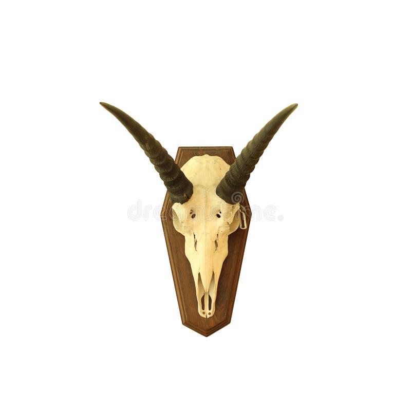 Saiga羚羊头骨 免版税库存照片