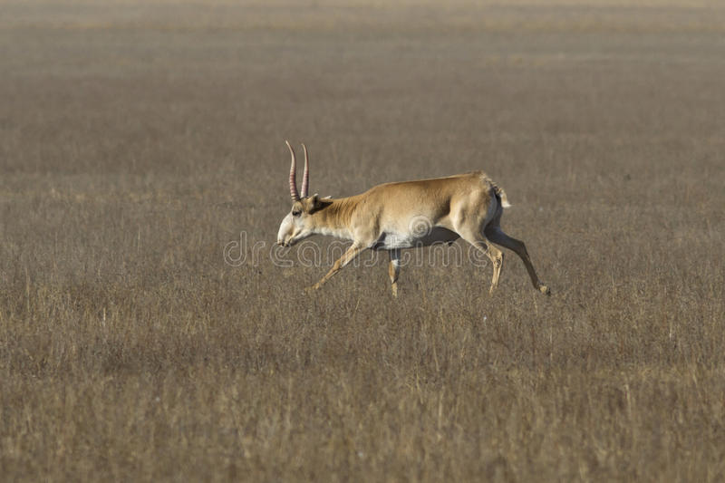 Saiga antelope male running through the steppe stock photo