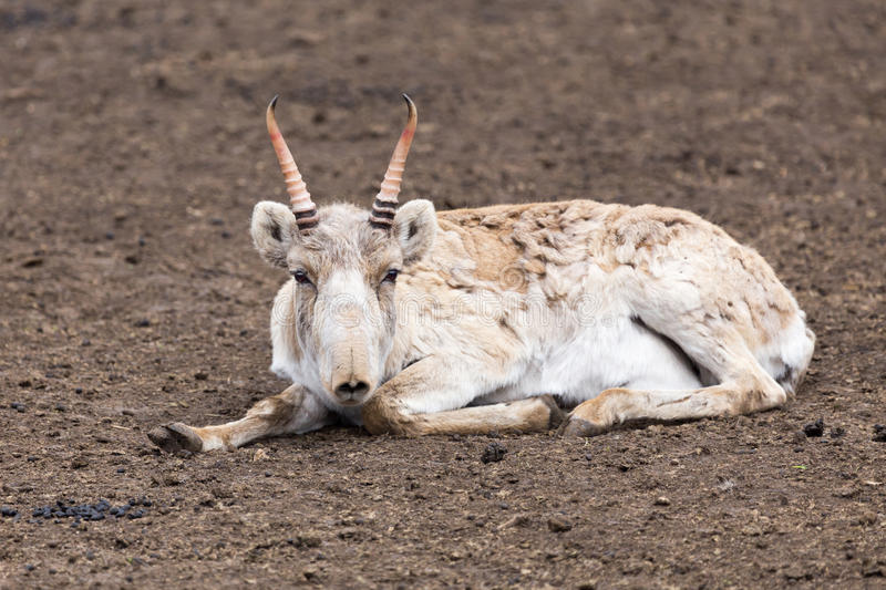 Saiga antelope stock photo