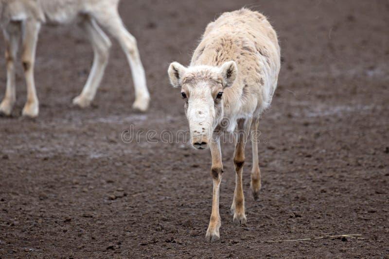 Saiga antelope (Saiga tatarica) stock images