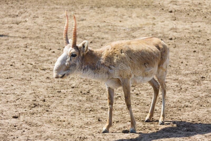 Saiga antilop (den Saiga tataricaen) arkivbild