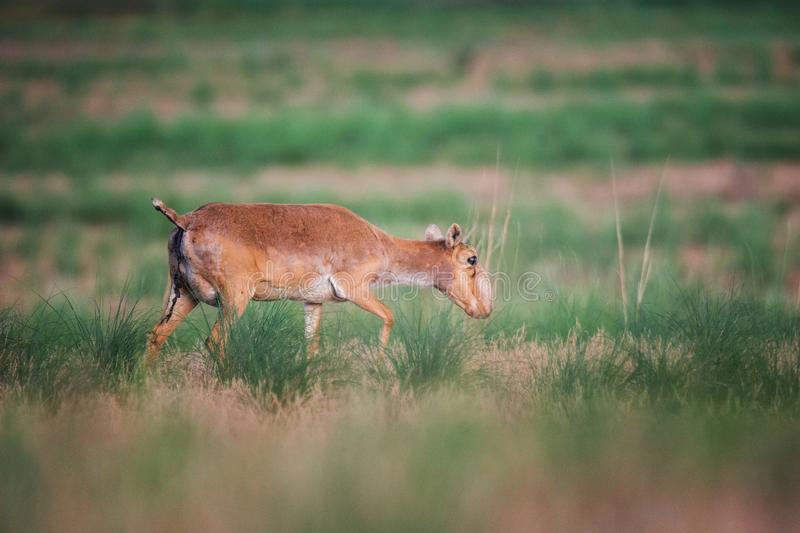 Saiga tatarica is listed in the Red Book. Chyornye Zemli Black Lands Nature Reserve, Kalmykia region, Russia royalty free stock photos