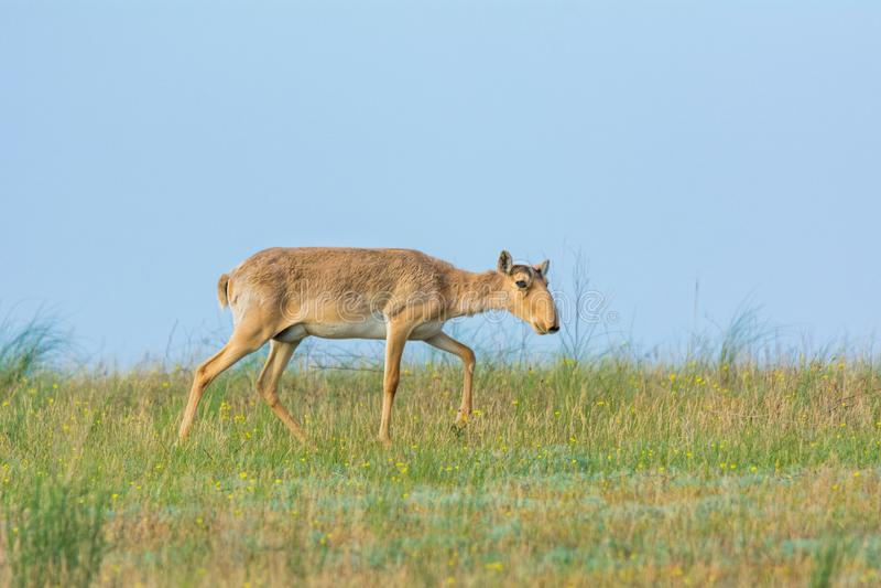 Saiga tatarica is listed in the Red Book. Chyornye Zemli Black Lands Nature Reserve, Kalmykia region, Russia stock photo