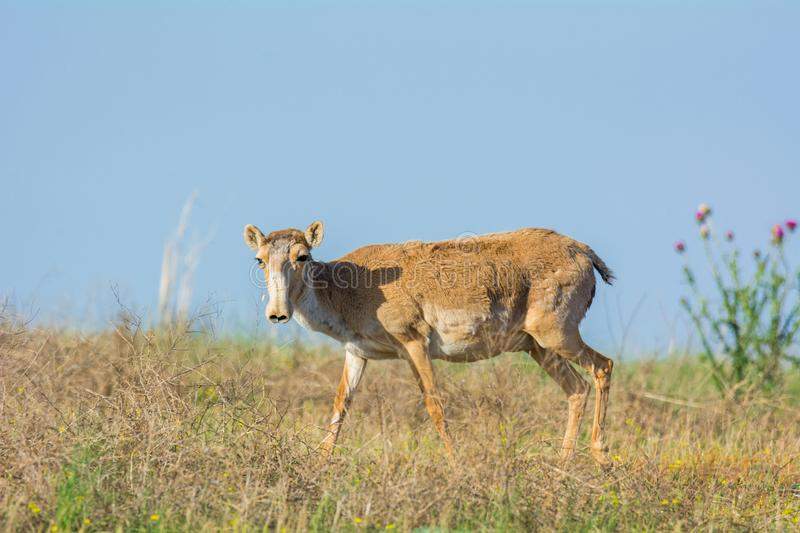 Saiga tatarica is listed in the Red Book. Chyornye Zemli Black Lands Nature Reserve, Kalmykia region, Russia stock photography